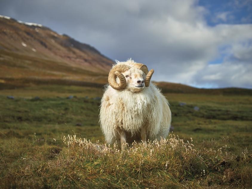 goats_2_Mr. Hofsós_Credit_R.J.Kern.jpg, R. J. Kern