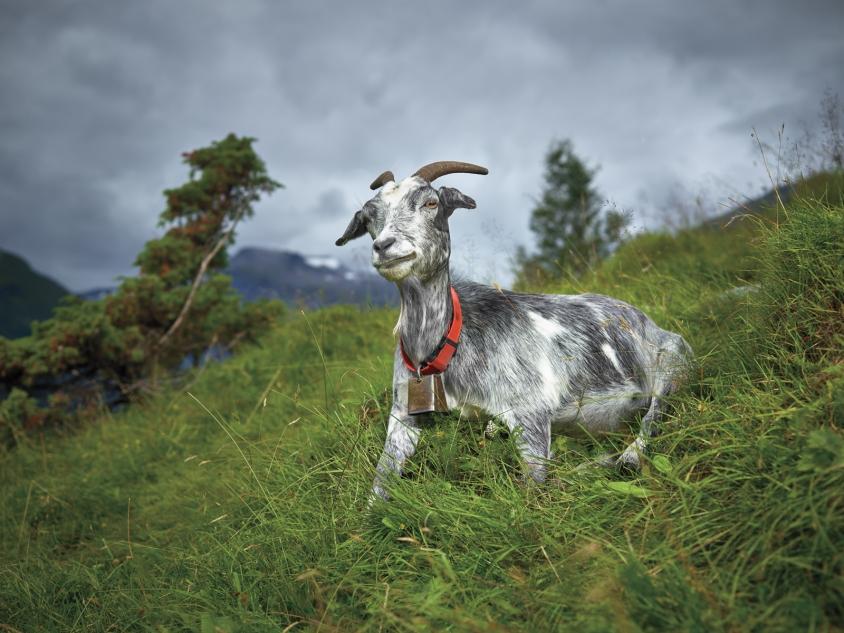 goats_3_Old Goat_Credit_R.J.Kern.jpg, R. J. Kern