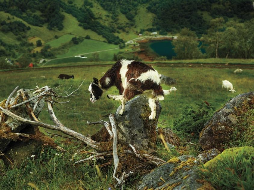 goats_4_Norwegian Pastoral Study I_Credit_R.J.Kern.jpg, R. J. Kern
