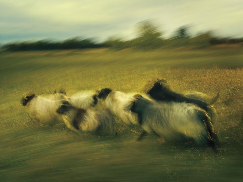 goats_6_German Pastoral Study I_Credit_R.J.Kern.jpg, R. J. Kern