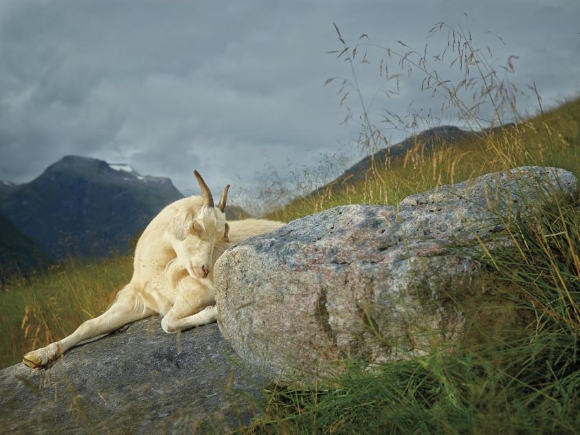 goats_8_Hazel_Credit_R.J.Kern.jpg, R. J. Kern